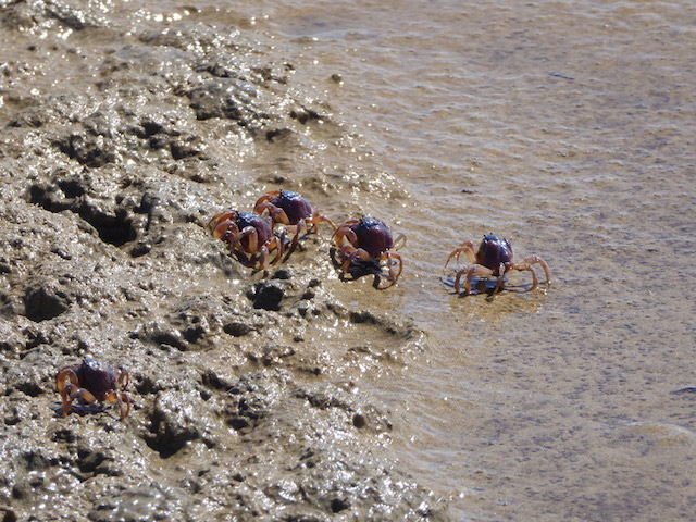 Soldier crabs scaled.jpg