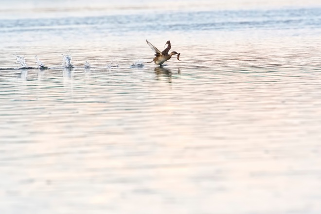 grebesfishcatch