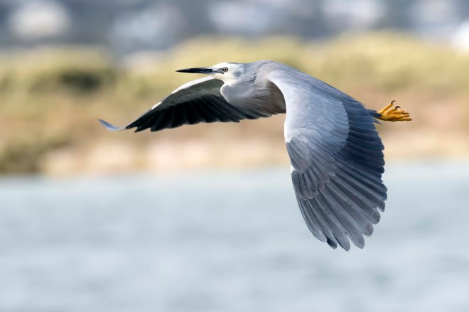 white-faced-heron-flight