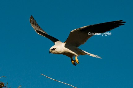 black-shoulderedkite3