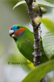 fig-parrot
