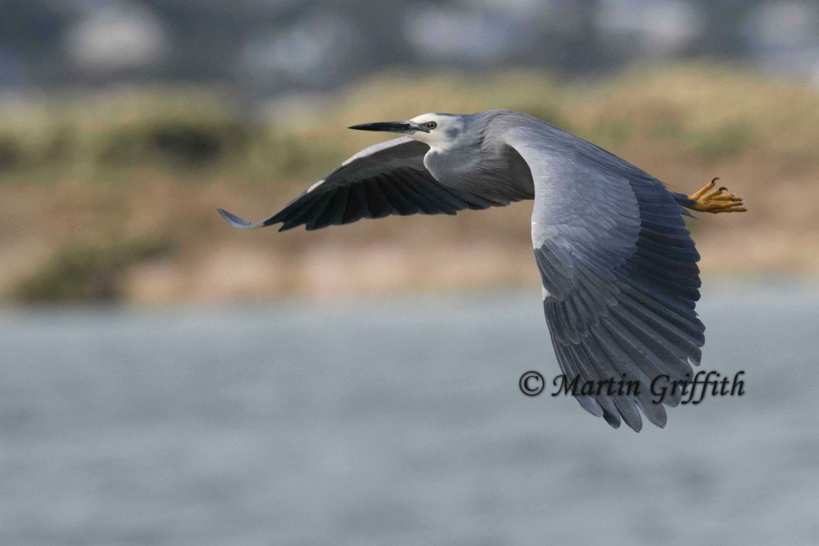 white-faced-heron-in-flight_a